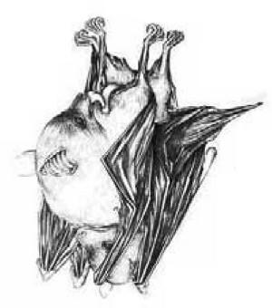 Fladdermus som utför oralsex.